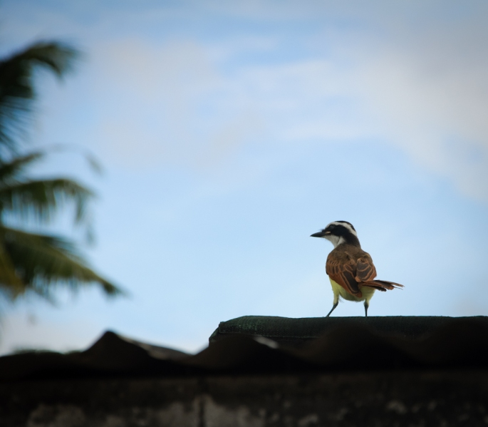 This shot of the Kiskadee bird was captured just outside my house